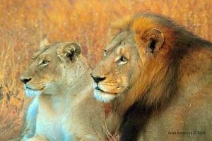 Lion & lioness couple: Source: http://www.flickr.com/photos/arnolouise/3837197463/