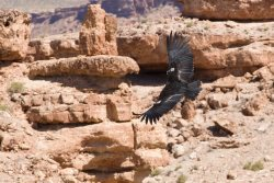 Californian Condor flying over the desert. Source: http://www.fotopedia.com/items/chmehl-I1wq3r0S5LQ