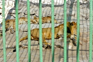Lions at Baghdad Zoo. Source: SABAH ARAR/AFP/Getty Images. A lion and lionesses enjoy Baghdad's sun as they rest inside their cage; http://insidethemiddleeast.blogs.cnn.com/2009/02/20/baghdad-zoo-a-favourite-weekend-family-outing/