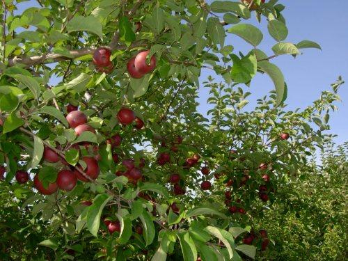 Ripe apples on a tree.