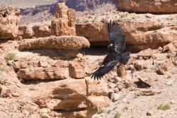 Californian Condor flying over the desert. Source: http://www.fotopedia.com/items/chmehl-I1wq3r0S5LQ